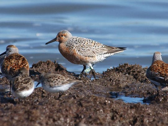 Red knots fly thousands of miles from South America to Delaware Bay, stop over for about two weeks to feed and fatten up on horseshoe crab and then migrate north to Arctic Breeding grounds.