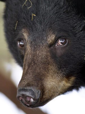 Wall Street pros fear a bear market has arrived in the stock market. A female black bear is shown coming out of hibernation at the Howell Wildlife Conservation Center April 9, 2003, in Amity, Maine.  (AP Photo/Robert F. Bukaty, File)