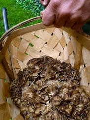 Maitake mushrooms gathered by a No Taste Like Home