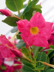 Mandevilla is one of Judy Terry's favorite plants. It comes in great colors and is a perfect plant for a deck or terrace