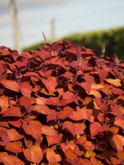 "This undated photo provided by Costa Farms shows Coleus Campfire. ""One of my favorite ways to make a small space feel larger is to plant varieties that have rich green, purple, or orange foliage up front, and incorporate white-variegated leaves at the back,"" says Justin Hancock of Costa Farms. Forever Purple Heuchera and Campfire Coleus paint a vivid portrait in a garden without flowers."