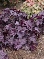 "This undated photo provided by Costa Farms shows Forever Purple Heuchera. ""One of my favorite ways to make a small space feel larger is to plant varieties that have rich green, purple, or orange foliage up front, and incorporate white-variegated leaves at the back,"" says Justin Hancock of Costa Farms. Forever Purple Heuchera and Campfire Coleus paint a vivid portrait in a garden without flowers."