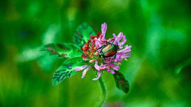A Japanese beetle sits atop a purple flower.