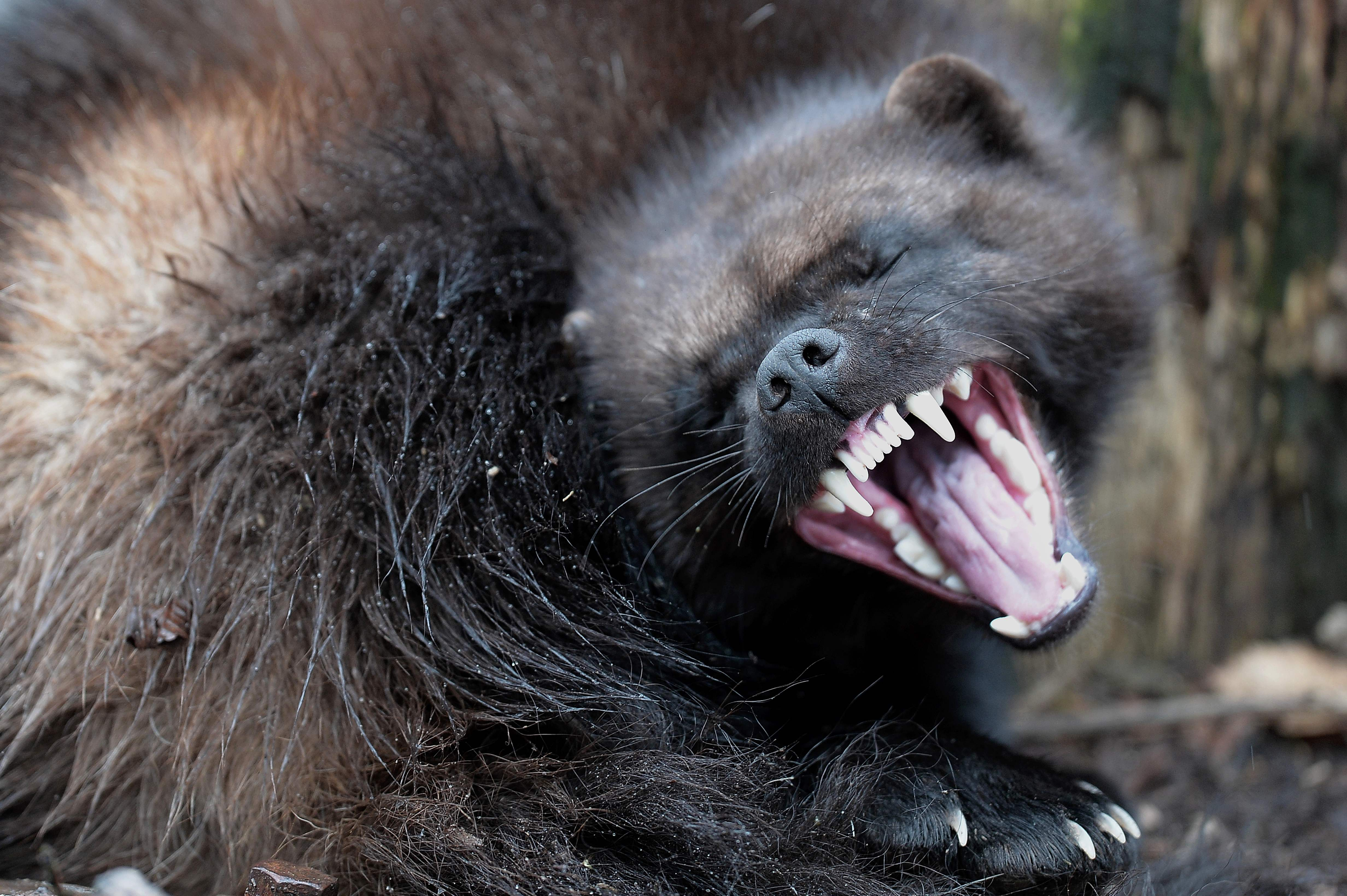 Image of: Northern Hairy Live Science Why Wolverines Are So Rare In The Us And Whats Being Done About It