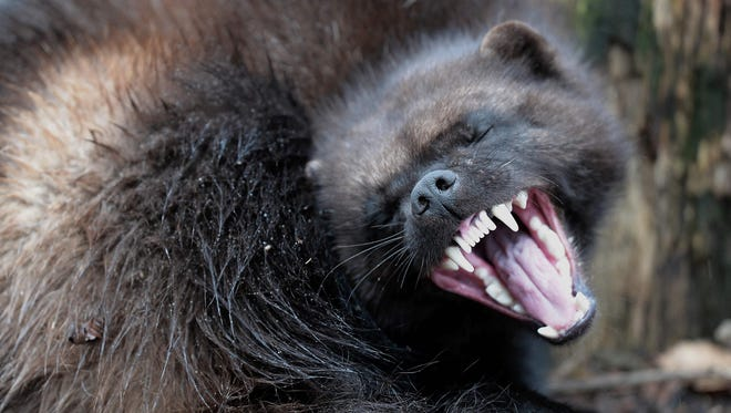 A wolverine during its first public appearance at the Animal Park of Sainte-Croix in Rhodes, France.