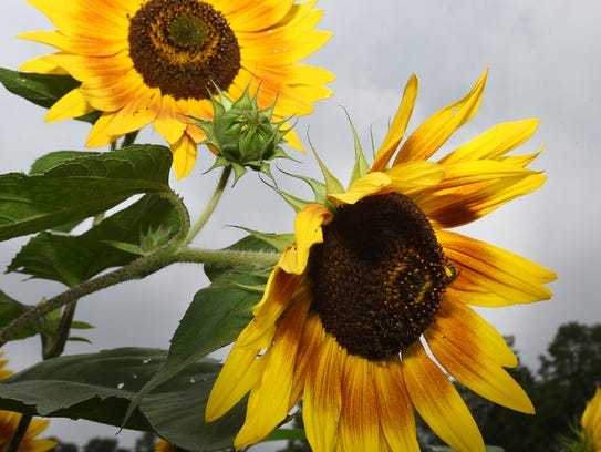 Pollen-laden bees work on a bunch of sunflowers in