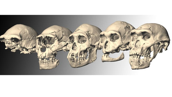 Dmanisi Skulls 1-5, from left.  Researchers have discovered the first complete skull of an adult early hominid, the class of apes that would eventually give rise to modern humans. Skull 5, as researchers have classified the fossil, was a mature male with a tiny brain, massive lower jaw and jutting brow who lived 1.8 million years ago in what is now the nation of Georgia.