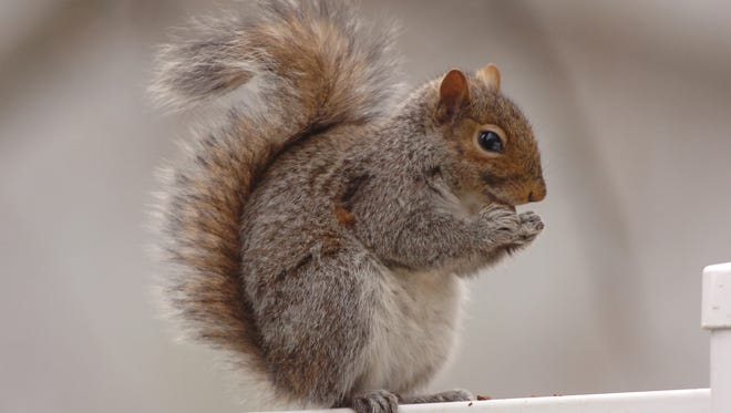 A squirrel like this one has been stealing from a New Jersey home.