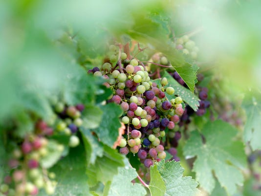 Cabernet Franc grapes, Rooster Hill