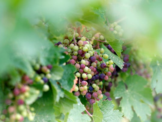Cabernet Franc grapes grow at Rooster Hill Vineyards