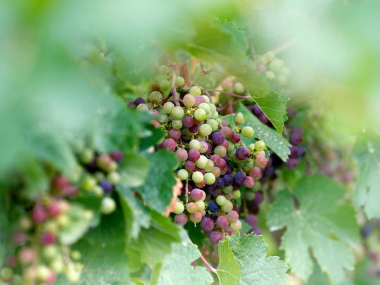 Cabernet Franc grapes grow at Rooster Hill Vineyards in Penn Yan in August.