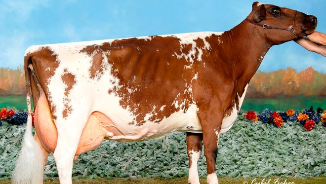 10-year-old Ayrshire Dreamer will be honored as Cow of the Year at the 2016 World Dairy Expo.