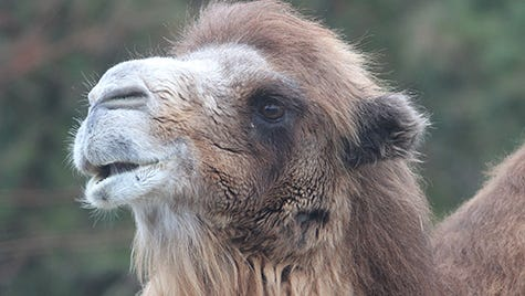 Princess the Camel, of the Popcorn Park Zoo in Lacey, N.J., seen in this 2012 file photo, was euthanized Tuesday, Jan. 14, 2014, after arthritis made it impossible for the animal to stand.