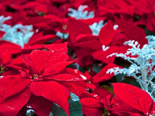 Christmas red poinsettia flowers are one of the striking winter blooms bringing us color in the dark of the season.