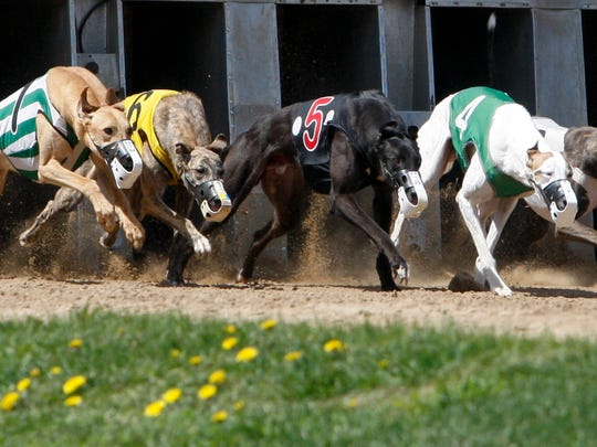 Greyhounds exit the gate on Saturday during the opening day of the 2014 greyhound racing season at the Mystique Casino in Dubuque. Some greyhound breeders are unhappy with legislation intended to help the industry scale back as dog racing is significantly reduced in Iowa.