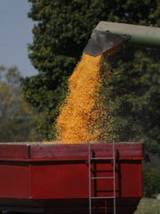 Shelled corn is loaded for transport.