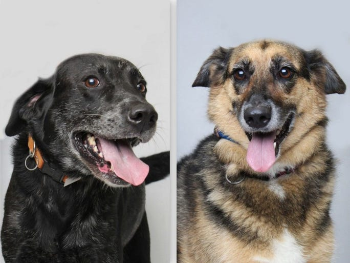 Cowboy and Lily are best friends and must go home together. It can add more stress and creates anxiety for pets who have to be separated after growing up together. Cowboy, an 8-year-old black Labrador retriever mix, and Lilly, a 7-year-old German Shepherd mix, are ready for someone who can give them attention, love and care. They are available at Young-Williams Animal Village. For more information, call 865-215-6345 or visit http://www.young-williams.org/.