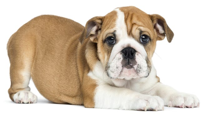 This English bulldog puppy is 2 months old.