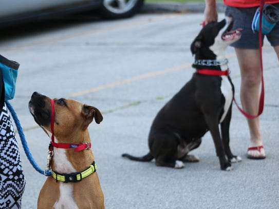 Pit bulls admire their owners at the free train-a-bull