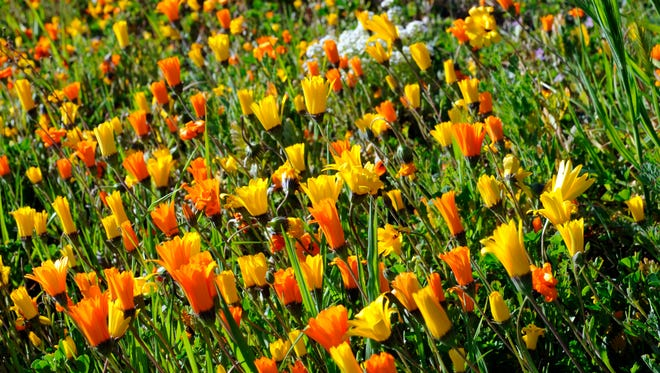 Wildflowers grow in the springtime near Salinas.