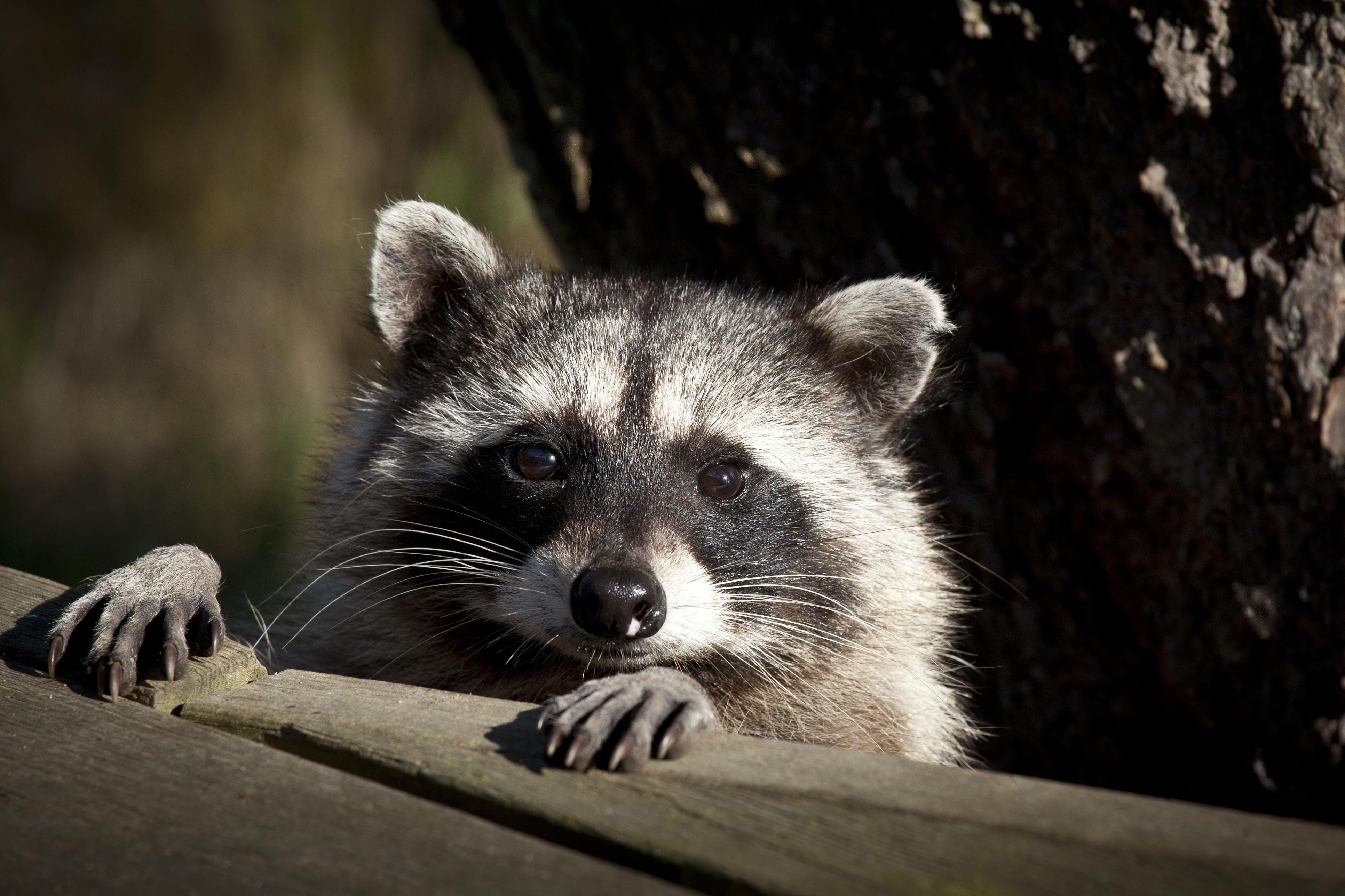 Do raccoons house regular apartments, if so, in what way
