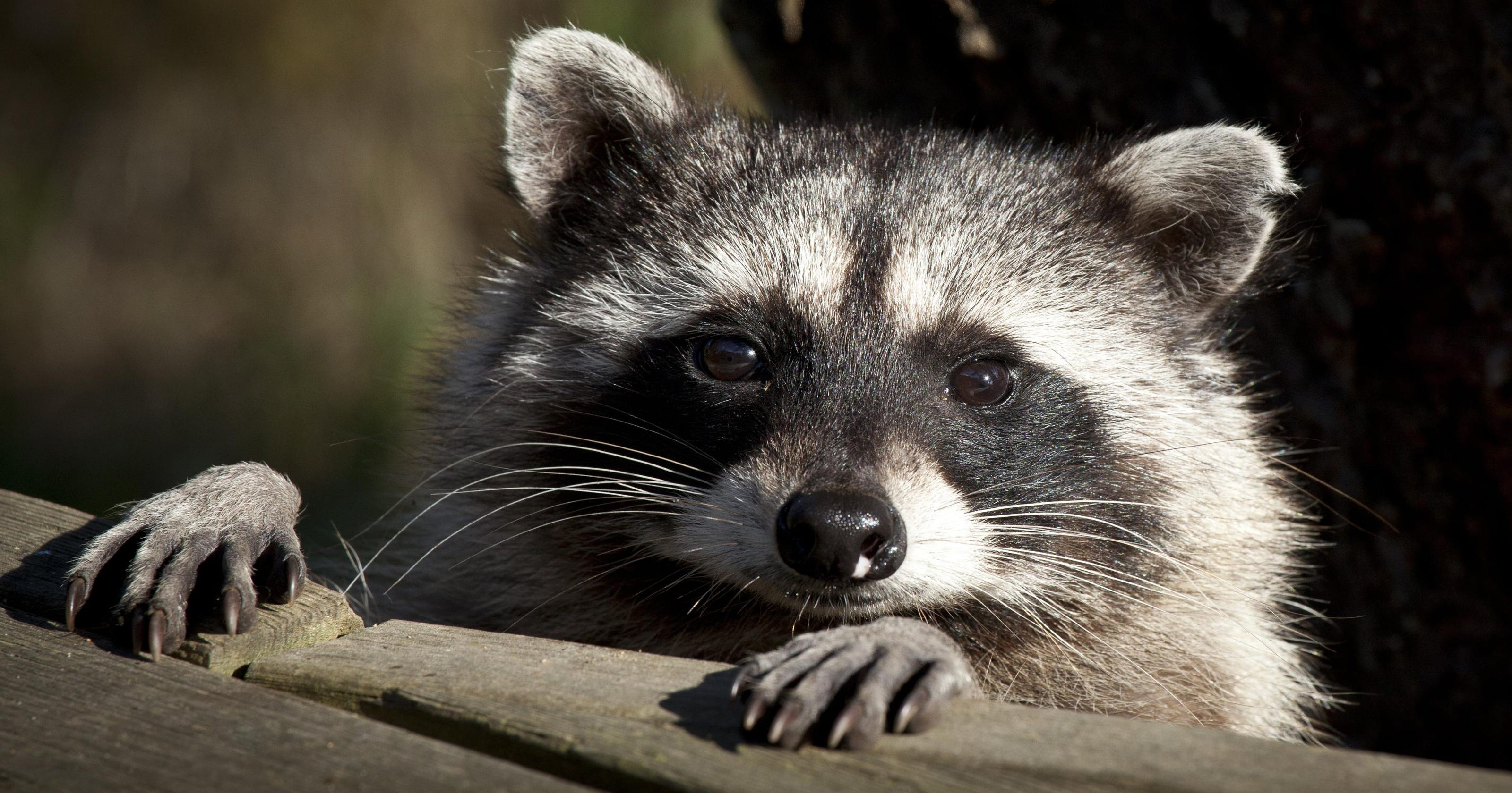 Raccoons Coyotes Opossums To Be Euthanized Under