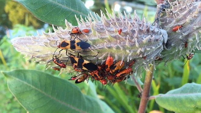 Milkweed bugs feed on the seeds, leaves and stems of milkweed.