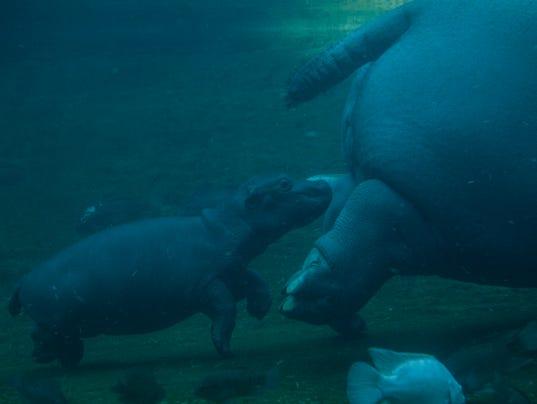 Memphis Zoo Baby Hippo