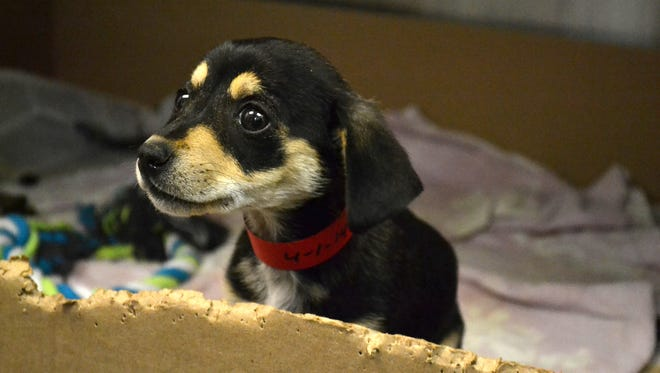 Animal Care and Control spokeswoman Melissa Gable says the number of Chihuahuas at the shelter can be overwhelming.