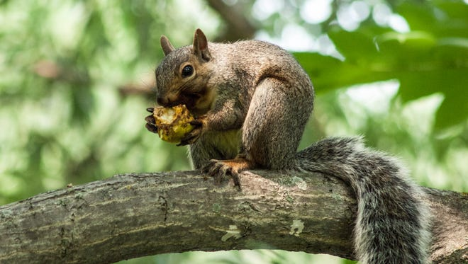Squirrels along with jays  are credited with substantially increasing the regeneration and dispersal of oaks thanks to their nut-burying practices.