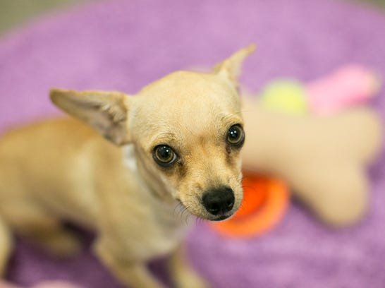 Chihuahua Rescue Dogs