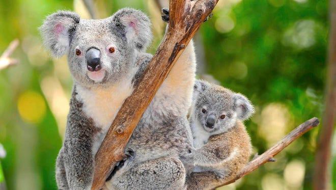 A koala in the eucalyptus