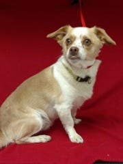 Clyde is a 3-year-old, male terrier and Chihuahua mix.