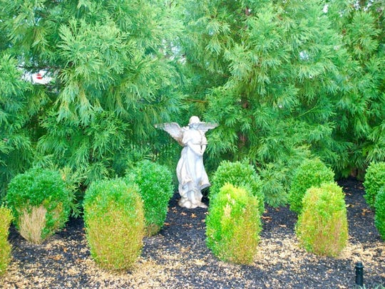 Landscape infected with Boxwood Blight.