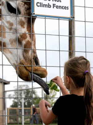 A giraffe stretches its tongue to grab a piece of lettuce held by Elise Hayes, 5, of Lansing, Thursday, August 20, 2015, at Boulder Ridge Wild Animal Park in Alto.