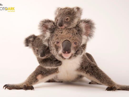 A federally threatened koala, Phascolarctos cinereus,