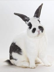 Mochi, male American rabbit. No. 99954.