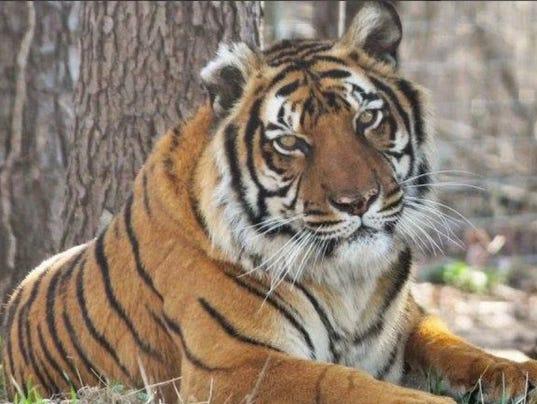 636471198640738204-Tiger.jpg