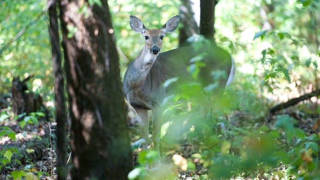 """A lone doe makes an appearance at Flat Rock Brook Nature Center in September 2014. A study the next year found that the center was """"insanely above"""" the sustainable number of deer."""