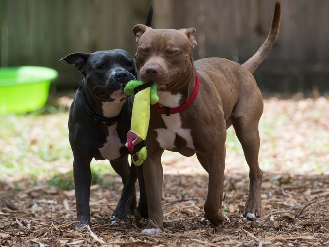 Pit bulls Sweet Potato and Chuck Norris play outside