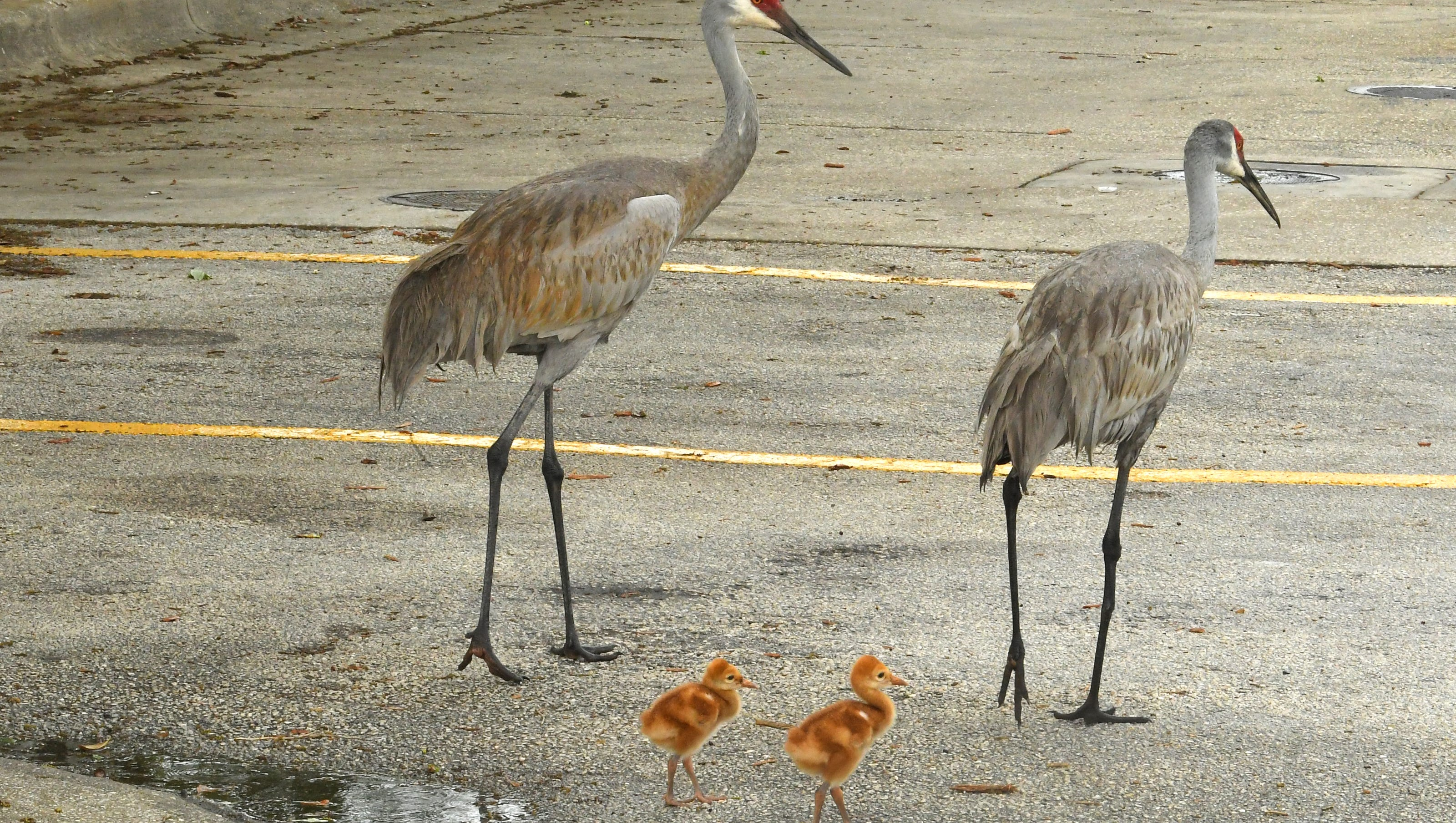 Sandhill Crane Walking Right In Front >> 100 Year Old Man Dies After Birds Crossing Road Trigger Florida Crash