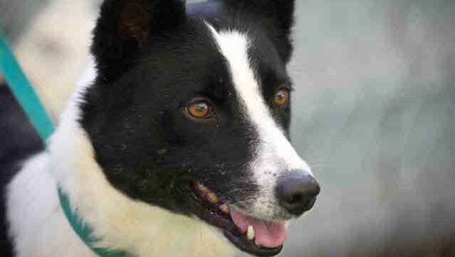 Sierra is available for adoption at the Humane Society of Ventura County in Ojai.
