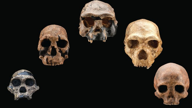 """""""Exploring Human Origins: What Does It Mean to Be Human?"""" was developed by the Smithsonian Institution and American Library Association and will appear at 19 public libraries across the country. It opens Monday at the Library Center in Springfield."""
