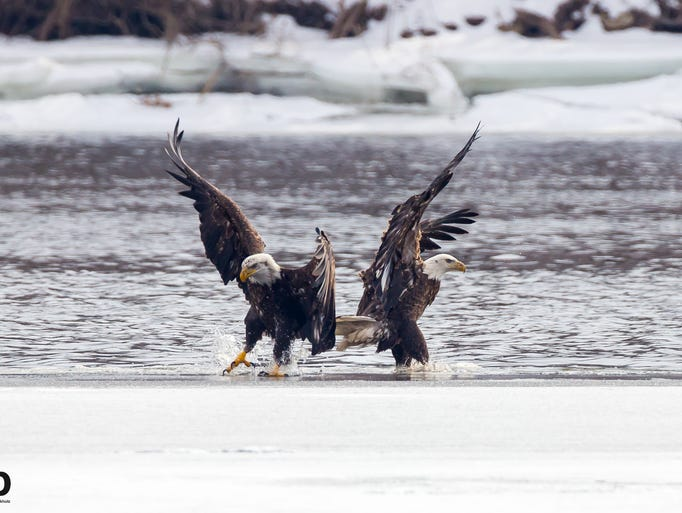 Three young bald eagles share a fish along the Fox