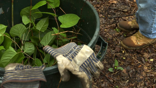 A garbage can is filled with harmful plants from Saddler's Woods during an Earth Day clean-up effort.