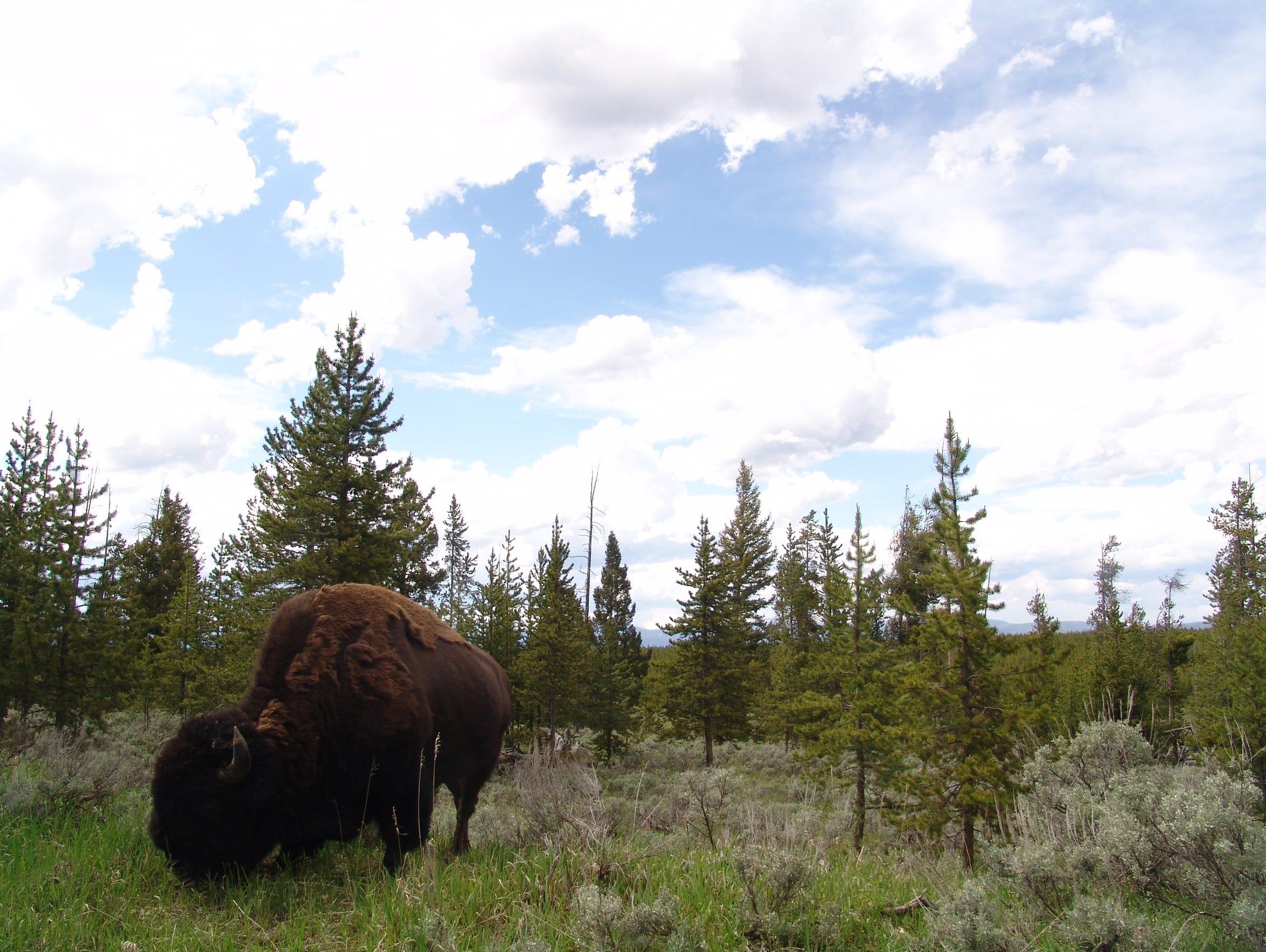 A bison along the Madison River in Yellowstone National