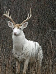 Mature white buck at former Seneca Army Depot.