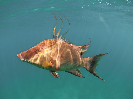 One-time cast-offs like hogfish are claiming their