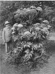 Giant hogweed in an Italian garden, circa 1900.
