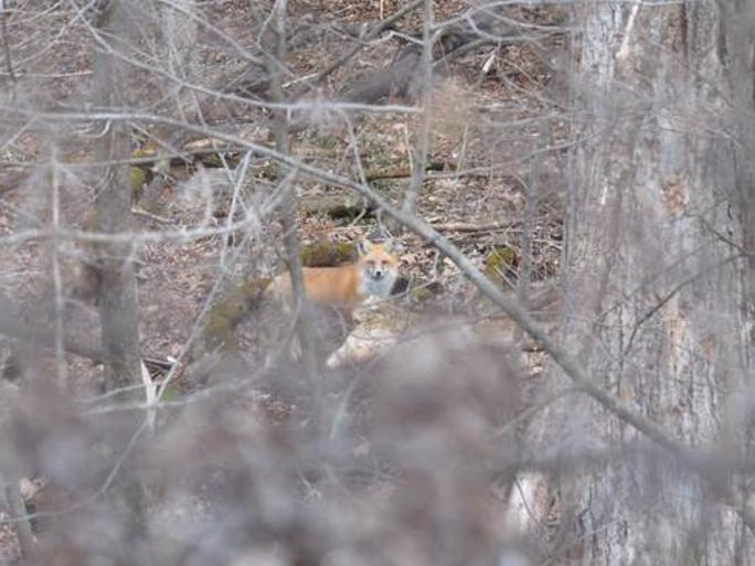 A springtime fox.